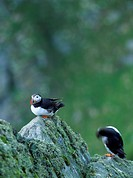 45X60 FOTO: Claes Grundsten COPYRIGHT BILDHUSET Close_Up Of Bird Sitting On Rock