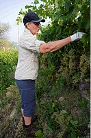 Bladrensning I Vingården, Piemonte, Italien, Senior Men Harvesting Wine Grapes, Side View