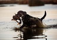 Apporterande Hund Under Andjakt, Dog Catches Bird In Water