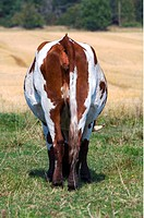 Betande Ko, Rear View Of Cow Standing In Field
