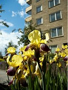 Liljor Framför Ett Hyreshus, Flowers In Backyard Of Building, Low Angle View