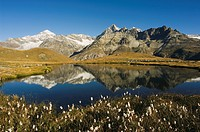 Alpine flowers and perfect reflection in lake at Schwarzee Paradise, Zermatt Alpine Resort, Valais, Switzerland, Europe