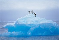 Adelie penguins on iceberg, Paulet Island, Antarctica, Polar Regions
