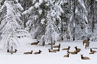 Elk herd, Yellowstone National Park, UNESCO World Heritage Site, Wyoming, United States of America, North America