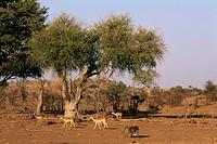 Impala Aepyceros melampus and Chacma baboon Papio ursinus, Mashatu Game Reserve, Botswana, Africa