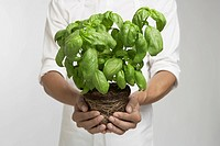 Chef holding fresh basil mid section