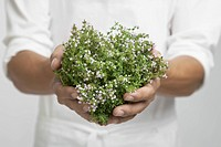 Bunch of thyme on chef's hands mid section