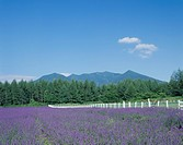 Lavender Field