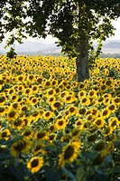Field of sunflowers in full bloom, Languedoc, France, Europe