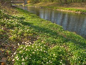 10852108, Switzerland, Glatt river, wood anemones,