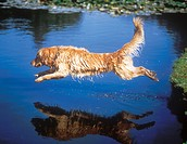 10853881, Golden Retriever, Animal, Animals, breed