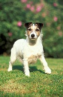 10853928, Jack Russel Terrier, Animal, Animals, br