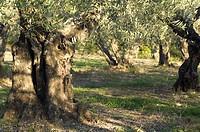 10854063, Olive Tree, Olea europaea, olive trees,