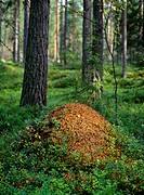 Close_up of anthill in forest Myrstak och blåbärsris i barrskog