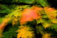 Blurred motion of autumn leaf Ett lönnträd med gula, röda och gröna löv rör sig i vinden en blåsig höstdag.