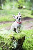Close_up of puppy sitting on grass En liten chihuahuasittandes på en stubbe mitt ute i skogen.