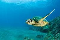 10855835, Green Turtle, Chelonia mydas, Marshall I