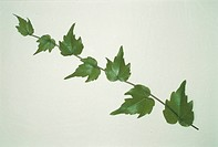 The Leaf Of Ivy