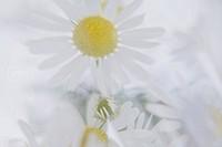 Margerit, vit blomma, närbild. Close_Up Of White Marguerite