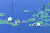 Water Lily (thumbnail)