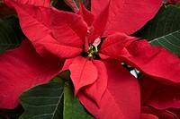 Julstjärna, röd blomma, närbild. Red Poinsettia Flower, Close_Up