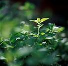 Oregano, närbild. Close_Up Of Oregano Herbs