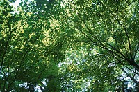 Sunlight Through Leaves (thumbnail)