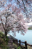 A Lake And A Cherry Tree