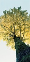 Ginkgo Tree