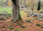 Mossbelupet träd i hage om hösten, gärdesgård, Stensjö By, Småland. Close_Up Of Moss On Tree Trunk In Autumn. Stensjö By, Småland, Sweden