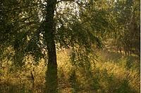 Björk På Sommaräng I Motljus, Uppland, Tree In Grass Field