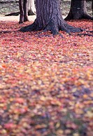 Autumn Leaves Near Maple Roots
