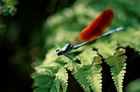 Dragonfly On Fern Leaf