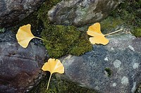 Yellow Leaves Of The Ginkgo