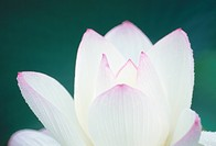 Lotus (thumbnail)