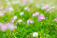 Chinese Milk Vetch