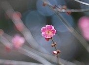 The Flower Of Plum