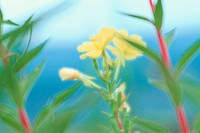 Evening Primrose
