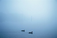 Fog And A Waterfowl