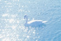 The Swan On The Water Surface