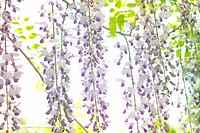 Wisteria