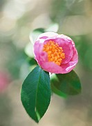 The Flower Of Camellia