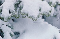 Snowy Branches Of Fir Tree