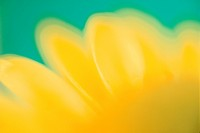 Petal Of Yellow Chrysanthemum