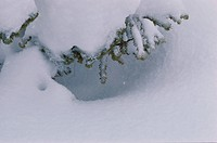 Branches Of Fir Tree In Snow