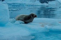 Seal On Iceberg