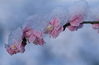 A Plum And Snow