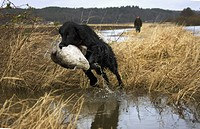 Dog holding duck in mouth Retriever apporterar i full fart en kanadagås under jakt