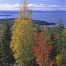 Höstfärjade Träd Vid Utsikt Mot Siljan, Dalarna, Autumn Trees By Sea