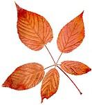 Röda höstlöv, närbild, vit bakgrund. Close_Up Of Red Autumn Leaf, Studio Shot